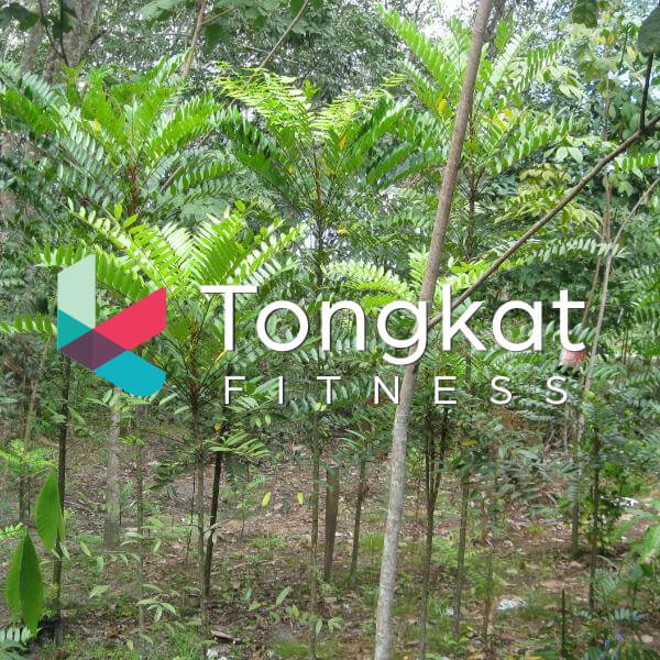 tongkat ali Trees